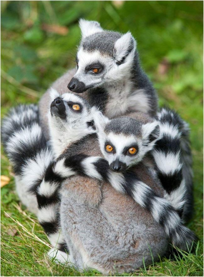 A ring tailed lemur at Dudley Zoo. Photo: Dudley Zoo.