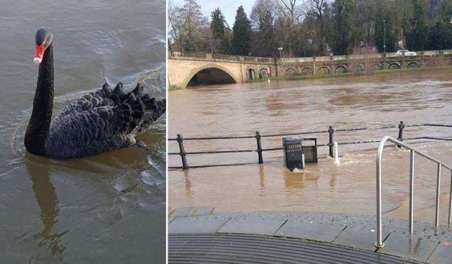 Swans have been making the most of the high River Severn levels in Bewdley. Photos by Sue Edwards