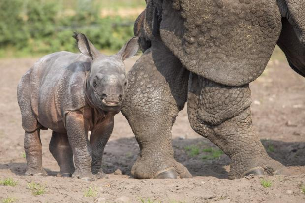 Halesowen News: Baby rhino Inesh is settling in well at the park