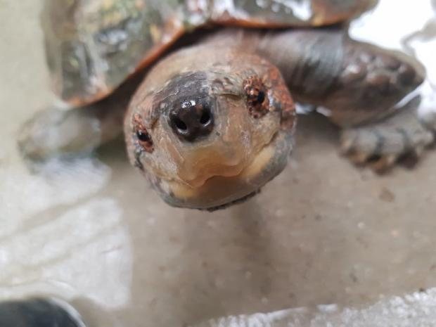 Halesowen News: Norman the Giant Asian pond turtle