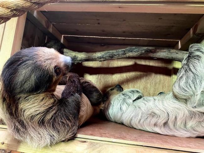 Reggie and Flo, Dudley Zoo and Castle's pair of Linne's Two-toed sloths