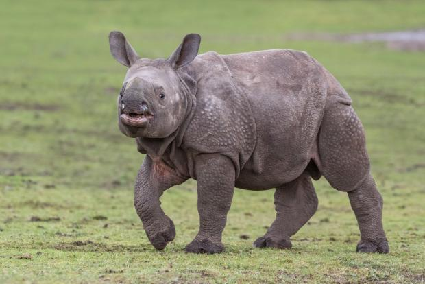 Halesowen News: Indian rhino calf Inesh is nearly six months old! Photo by Matthew Lissimore