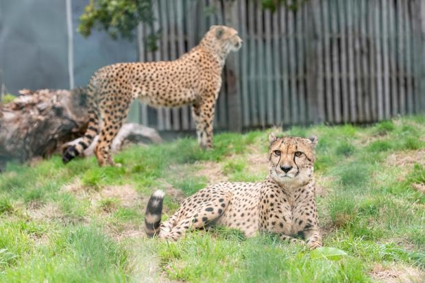 Halesowen News: New arrivals, brothers Azrael and Bappe, will live in the new cheetah enclosure as part of the Safari Lodges development