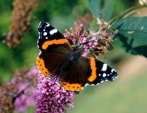 Gardeners urged to boost butterfly numbers