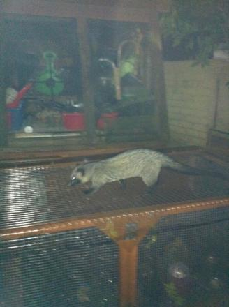 The Asian palm civet trying to get at quails in a Halesowen garden