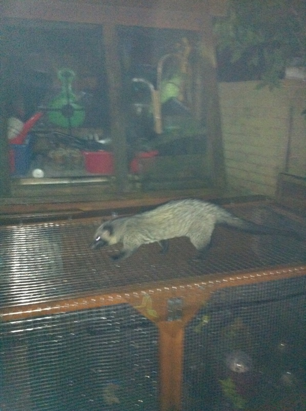 The first Asian palm civet spotted in a Halesowen garden earlier this year.