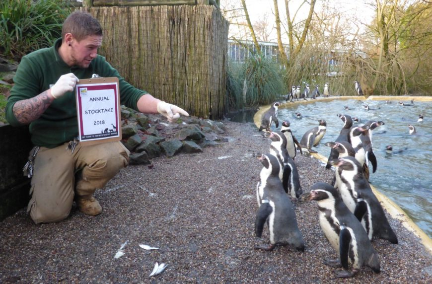 Penguins are counted for Dudley Zoo's annual census