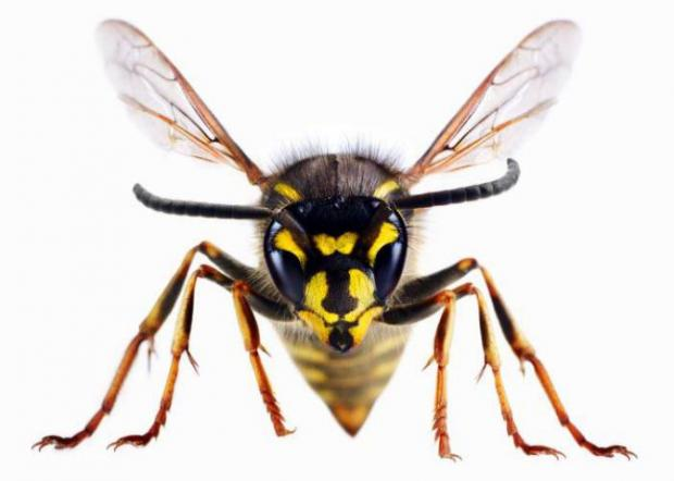 Halesowen News: A wasp