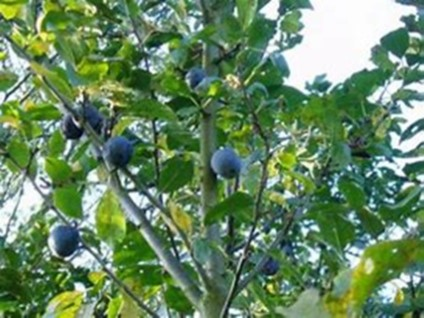 Stone Fruit Tree Pruning Course